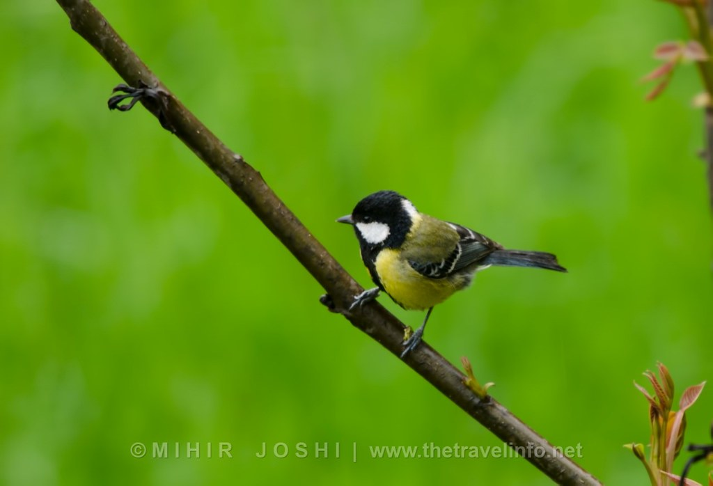 Green-backed Tit [Carbonero Dorsiverde]