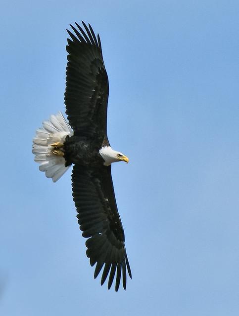 Pygargue à tête blanche -------- Bald eagle -------- águila calva o  Pigargo cabeciblanco