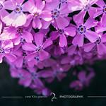 Fall // 溢れ落ちて、桜色。