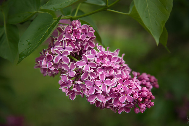 RUS62366(After Rain. Lilac)