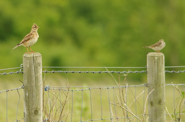 skylark and meadow pipit (1)