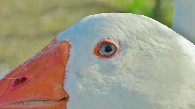 Domestic White Goose