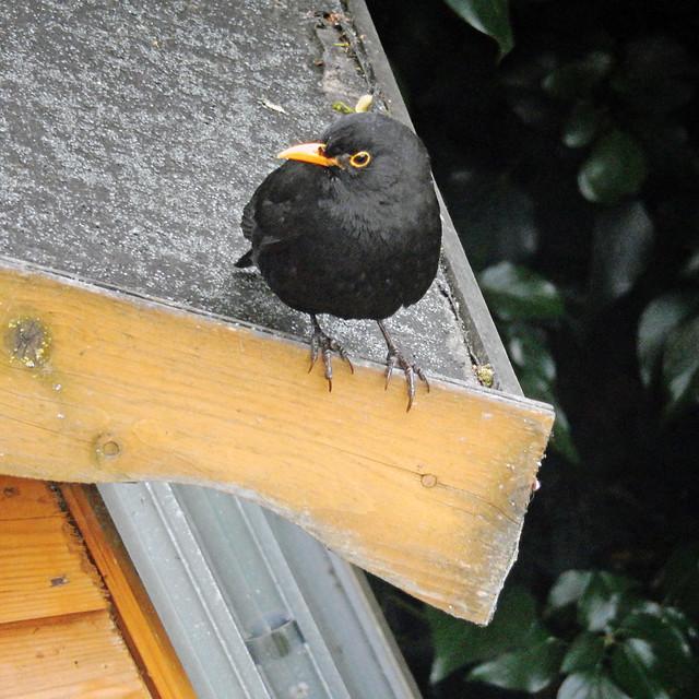 Blackbird, 2017 Jun 07
