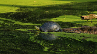 Blanding's turtle (Emydoidea blandingii) | by phl_with_a_camera1