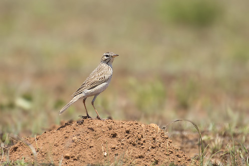 African Pipit 20161022_Dullstroom
