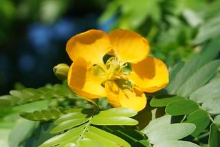 Bulnesia Arborea (Verawood Tree)