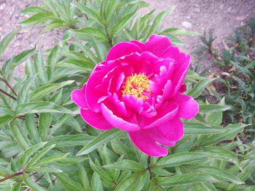 Rose und ein Schatten fällt in dieser Tage Glanz, ihr Wohllaut stirbt in herber Dissonanz. Der junge Frühling, lachend, wangenrot, erschrickt erblassend vor dem dunklen Tod 165300