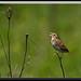 Henslow's Sparrow by Gregs eBirds