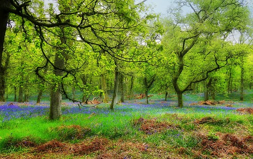 ericrobbniven scotland bluebells woods woodland kinclaven perthshire landscape spring springwatch