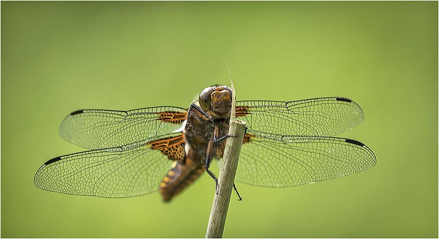 Broad Bodied Chaser (f)