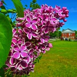 The Lilac and the Town Clerk's Office