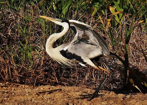 braziltrip2016 thepantanal cuiabariver brazil southamerica cocoiheron ardeacocoi widespread ardeidaefamily common habitat rivers swamps freshwaterlakes sueroehl naturalexposures photographictours panasonic 100400mmlens handheld takenfromboat bird animal outdoors ngc