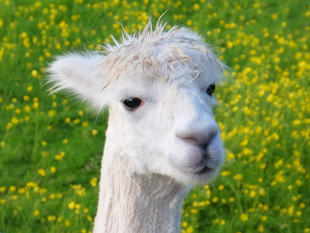 Cute Young Alpaca ..