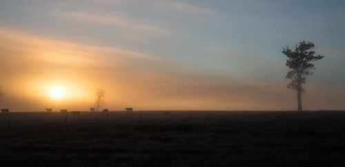 cows sun sunrise tree fog tasmania carrick rural agriculture cow mist morning