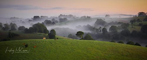 cattle land field trees mist rolling cows bullock farm fog sunrise breath taking landscapes