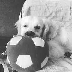 Oh, but I love playing soccer so so much! #dexterdog #bw #dogsofinstagram