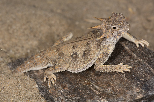 Flat-tail Horned Lizard | by Jeremy Wright Photography