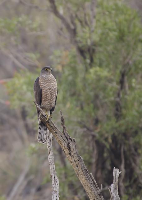 Peuquito / Chilean Hawk (Accipiter chilensis)