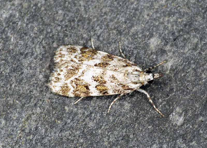 63.066 Scoparia pyralella