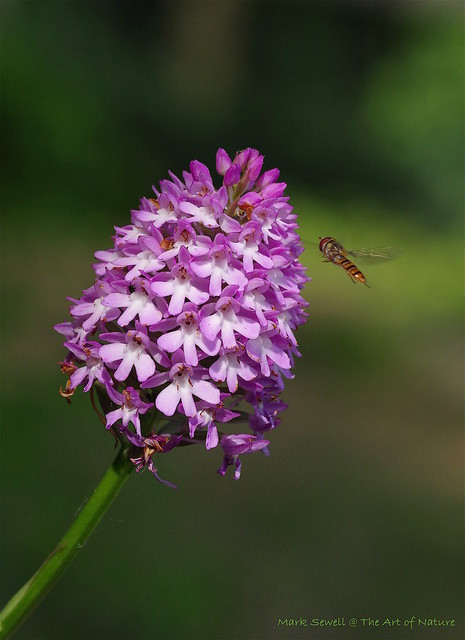 Hover Fly comming into land on a Pyramidal Orchid
