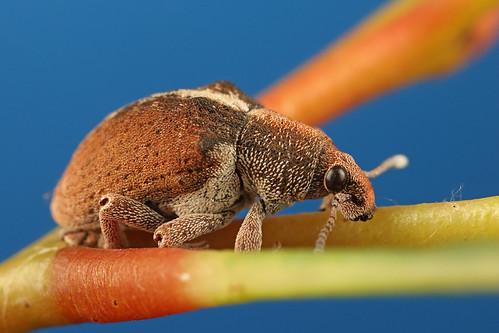 Eucalyptus Weevil