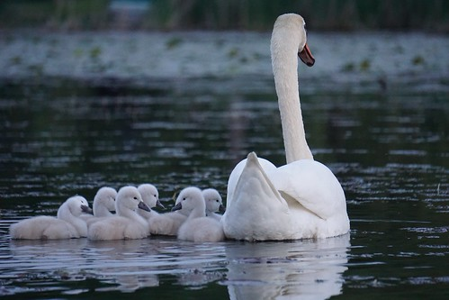 Seven swans a swimming