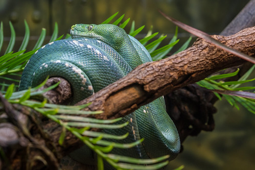 Green Tree Python   by Bob Worthington Photography