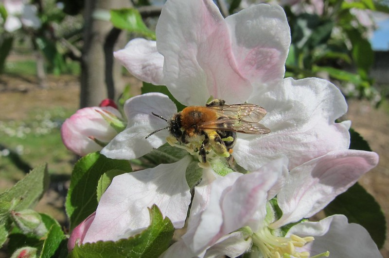 Apple trees in bloom, thinning and honeybee pollination.