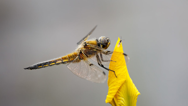 Wasp on a yellow flag