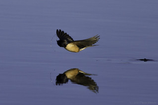 Barn Swallow Slinging Water