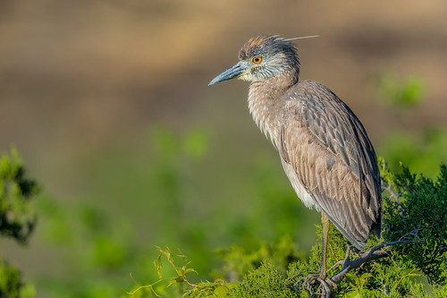 ocrookery nyctanassaviolacea wildlife rookery nature bird heron yellowcrownednightheron shore portrait ocnj nightheron juvenile oceancity newjersey unitedstates us nikon d7200