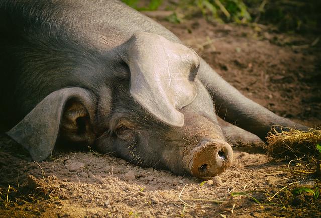 PiggyBDMC1