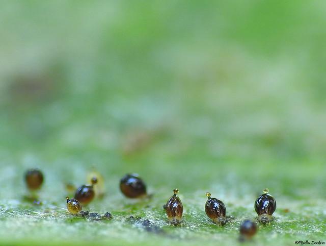 Thrips larvae