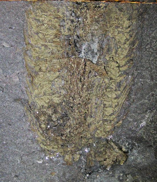 Lepidostrobus sp. (fossil cone) in coal (lower Pottsville Group, Lower Pennsylvanian; Irish Ridge East roadcut, Muskingum County, Ohio, USA) 1