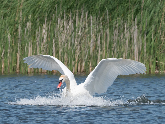 Mute swan / Höckerschwan (Cygnus olor)