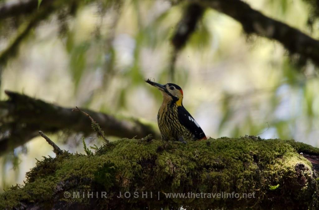 Darjeeling Woodpecker [Pico de Darjeeling]