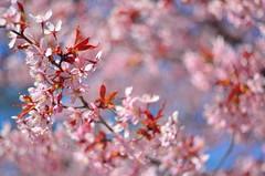 Sakura Swirl