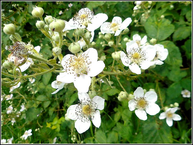 Bramble Flowers ..
