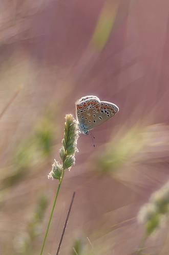 papallona   by davin´s