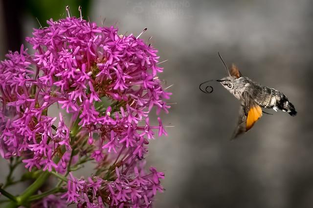 Esfinge colibrí. (Macroglossum stellatarum), Jardín Botánico, Madrid