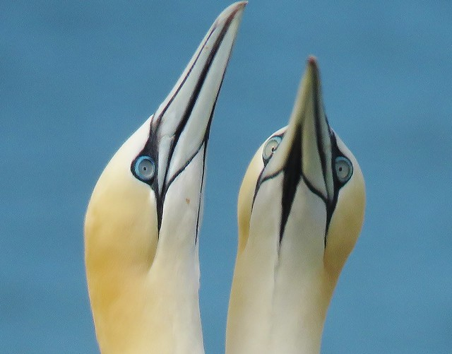 Courting Gannets at RSPB Bempton cliffs