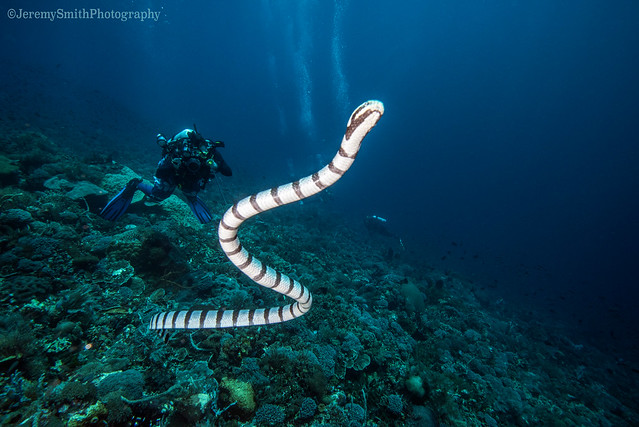 Banded Sea Krait, Laticauda colubrina, Alor, Indonesia