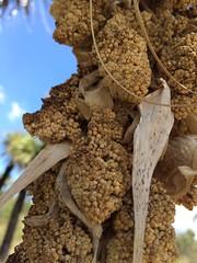 dried amaranth