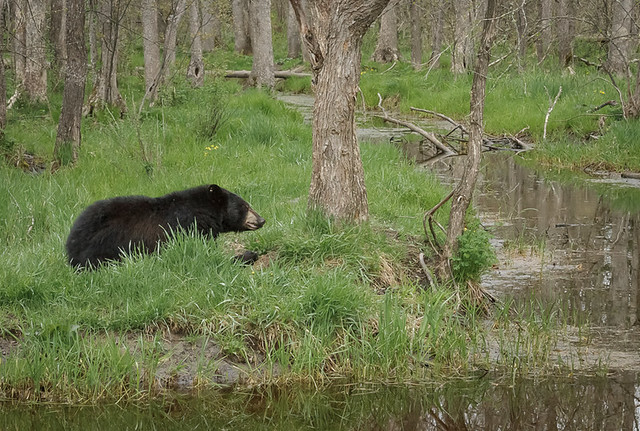 Black Bear_0157_05-16-17_MN_resized