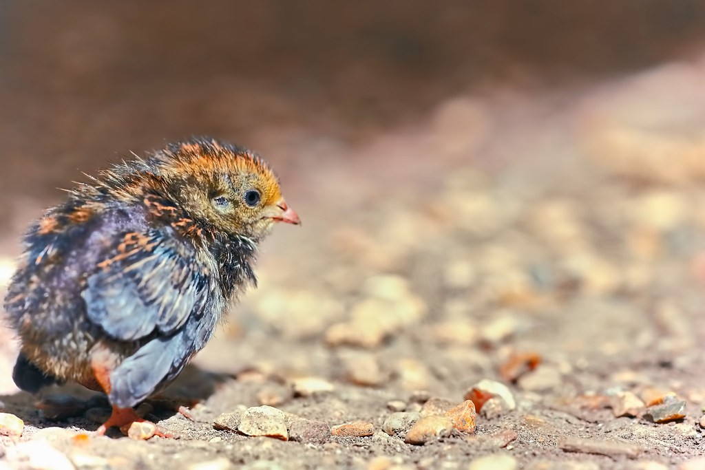 Baby Quail Walking In A Small Path Under The Sun A Very S Flickr