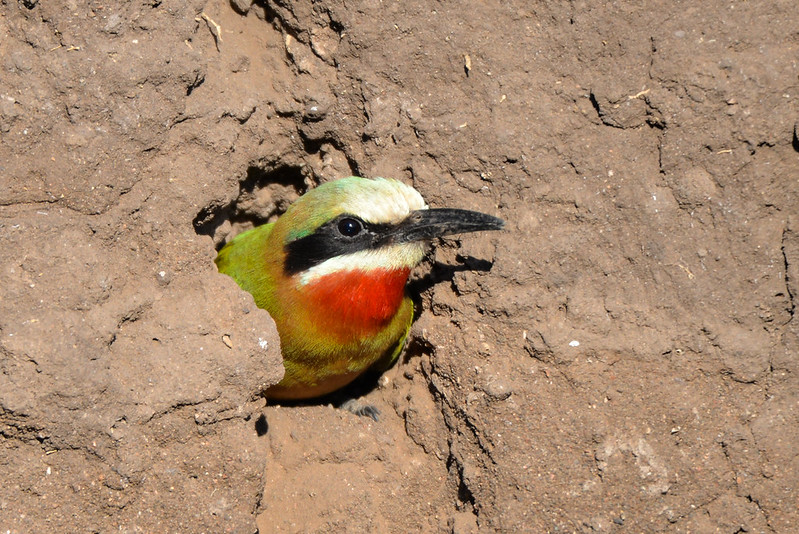 598 White fronted Bee Eater
