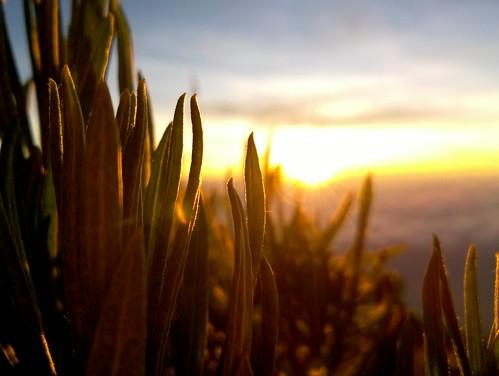 nature lumia730 lumia edelweiss javanese leaves sunrise beautiful merbabu anaphalis javanica