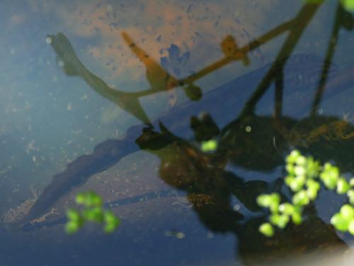 Mystery Newt May2017   by http://wildaboutthebritishisles.uk