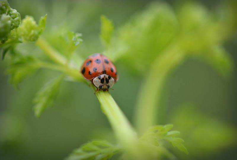 Ladybird or Ladybug?
