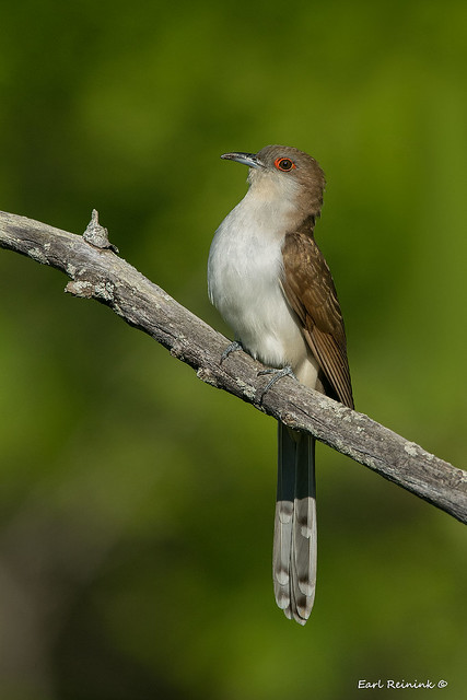 Black-billed Cuckoo singing his heart out..
